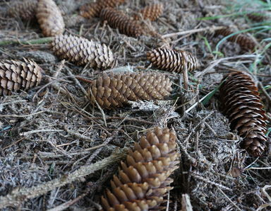 Fir cones in the woods